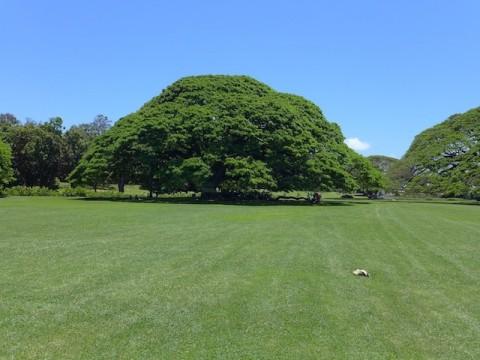 モアナルアガーデン、♪この木なんの木気になる木〜...