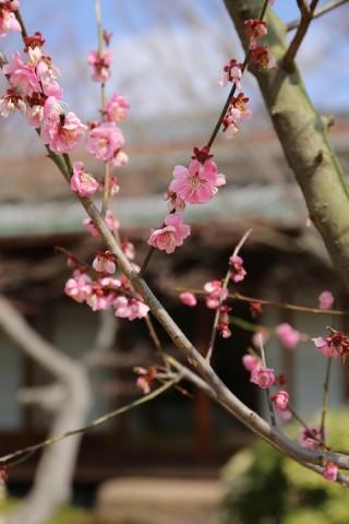 和室を背景に。梅は「和」だね。