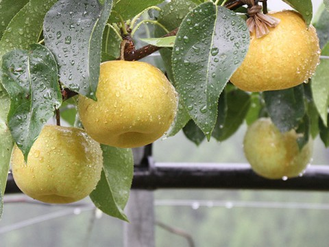 雨に打たれる梨たち